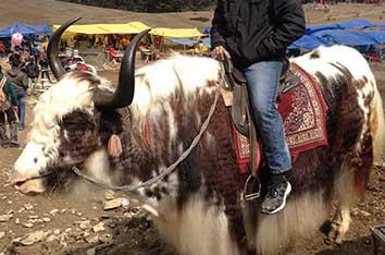 kufri yak ride